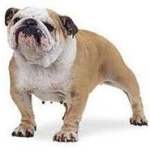 bulldog bi